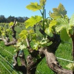 Margaret River Winery grape vine